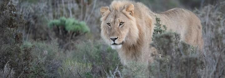 Lvi vymírají napříč Afrikou. Jak je zachránit před vyhynutím?