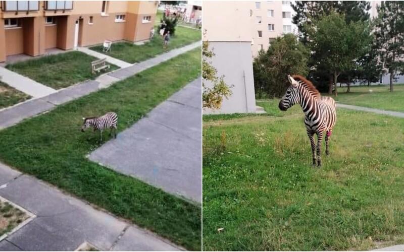 V Piešťanoch sa po sídlisku prechádzala zebra. Museli ju odchytiť.