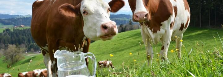 Jarní básnická soutěž se mlékárně Kunín vymkla z rukou. Lidé jí ve verších vyčítají špatné zacházení se zvířaty