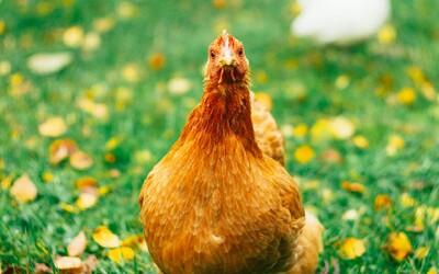 Nákupom welfare mäsa podporíš zodpovedný chov aj lokálnu produkciu