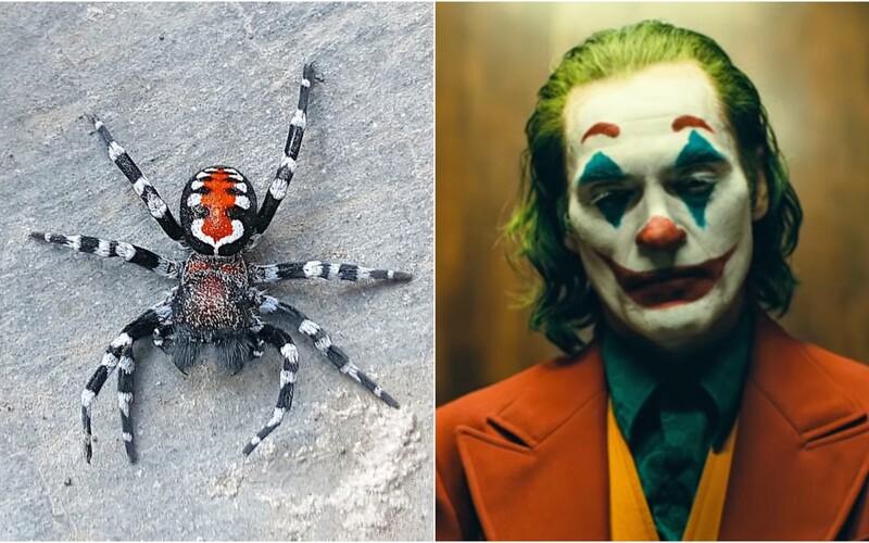 Vědci objevili nový druh pavouka, který má připomínat Jokera. Pojmenovali ho po herci Joaquinu Phoenixovi.