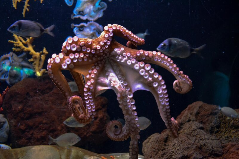 Chobotnica má tri srdcia.