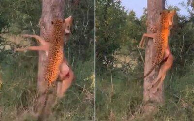 Leopard bez problémov vyniesol na strom svoju korisť. Poradí si aj so zverou, ktorá má 3-krát väčšiu hmotnosť ako on.