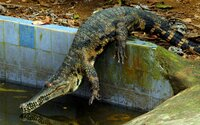 40 aligátorů zdrogovali ketaminem. Vědci jim pak nasadili sluchátka, chtěli vědět, jak fungoval sluch dinosaurů