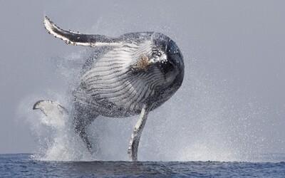 40-tonová veľryba predvádza fascinujúce prírodné divadlo. Prečo tieto cicavce vyskakujú z vody?