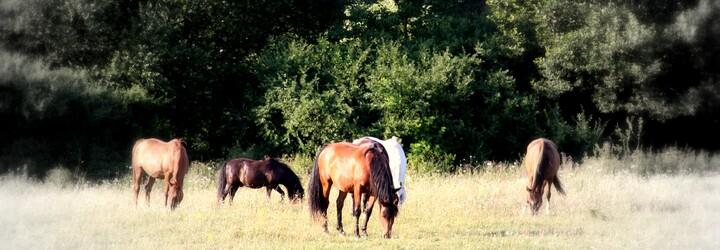 Na východe Slovenska úraduje konská mafia. Škody za desiatky tisíc eur sa snažia farmári vyriešiť aj na vlastnú päsť