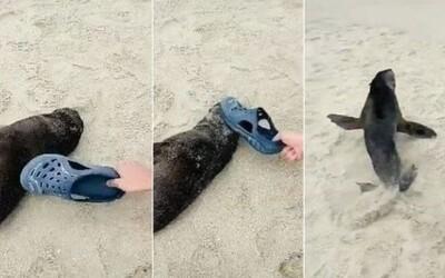 Čínský turista plácal spící mládě tuleně kroksou. Chtěl, aby se probudilo.