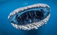 50 štítovců si užívá jízdu v žraločí tlamě – tato fotka vyhrává mezinárodní soutěže