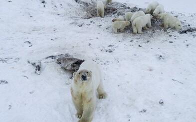 56 vyhladovaných ľadových medveďov obkľúčilo dedinu na Čukotke. Kvôli roztápaniu ľadovcov museli opustiť svoj domov