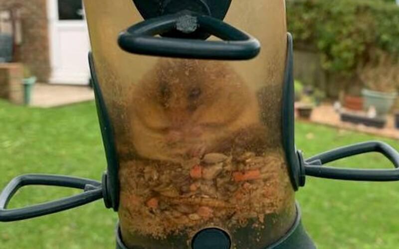 Plch uvízl v krmítku pro ptáky poté, co se tolik přejedl, že nemohl ven.