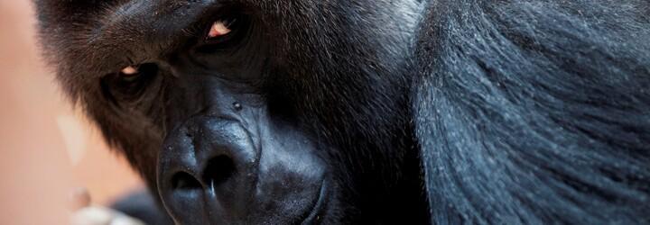 V pražské zoo zemřela 25letá gorila Bikira