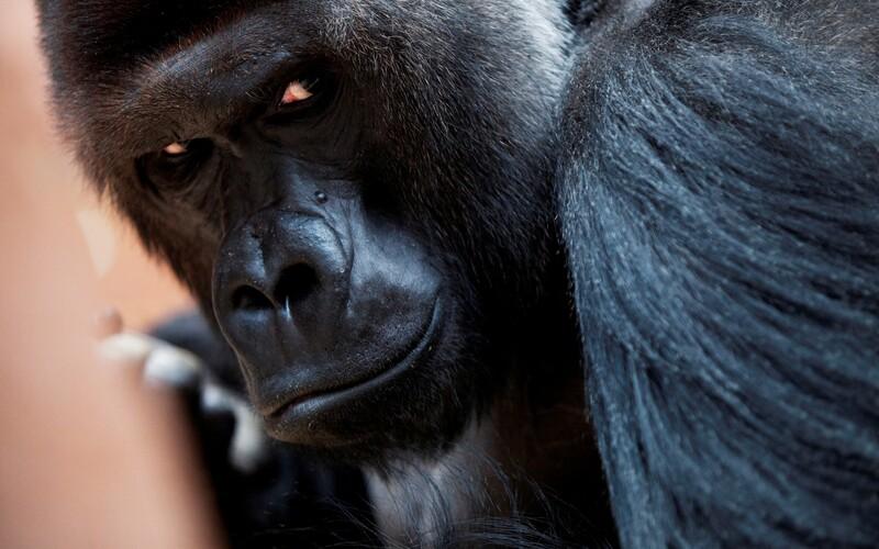V pražské zoo zemřela 25letá gorila Bikira.