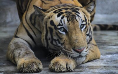 Případ tygra, který ženě na Pardubicku ukousl ruku, policie odložila bez obvinění.