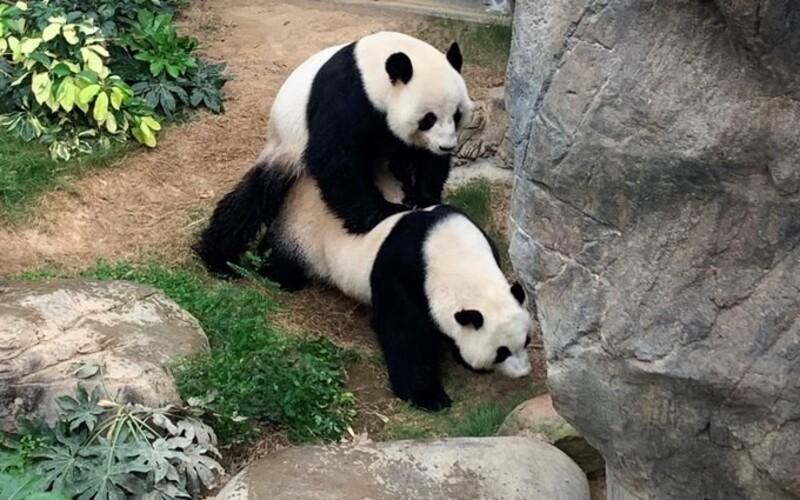 Pandy si v karanténě užily sexuální hrátky poprvé po 10 letech, zoologická zahrada se raduje.