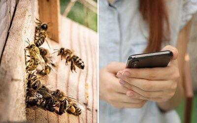 Žiarenie z mobilov možno zabíja včely a ostatný hmyz.Vedci objavili nové súvislosti.