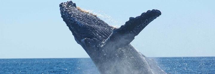 Tichým oceánem pluje velryba bez ocasu. Za její utrpení pravděpodobně mohou rybáři
