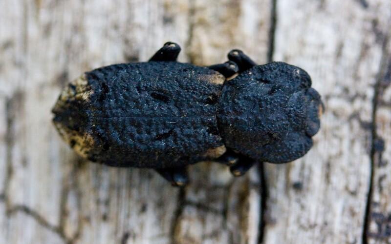 Tohto chrobáka môže prejsť aj auto. Má jeden z najodolnejších prírodných pancierov.
