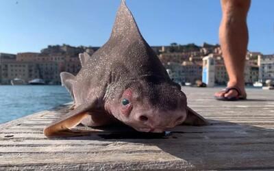 V Itálii vylovili uhynulou prasečí rybu. Jedná se zvláštní druh žraloka.