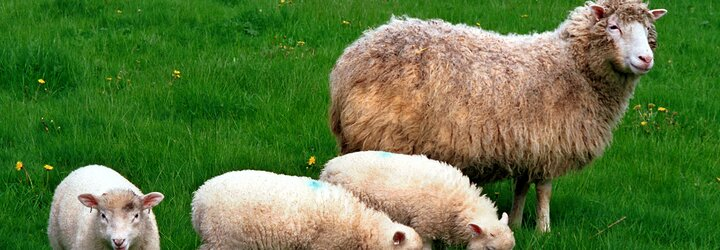 Ovca Dolly - prvé naklonované zviera zmenilo pohľad na modernú genetiku a vyvolalo početné diskusie