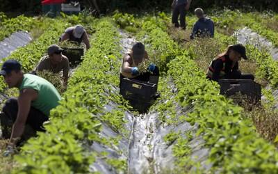 V Británii nebude mať tento rok kto zbierať jahody. Na farmách potrebujú až 90 tisíc sezónnych pracovníkov.