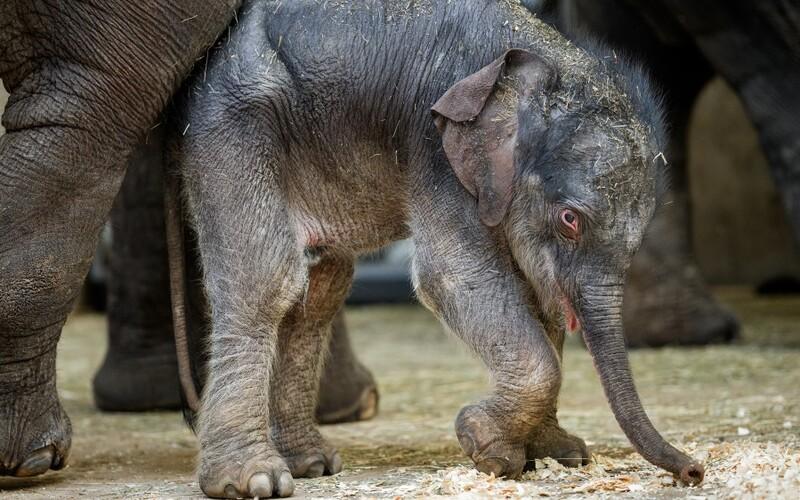 Adoptuj si mláďata, která přišla během karantény na svět, vyzývá Zoo Praha.