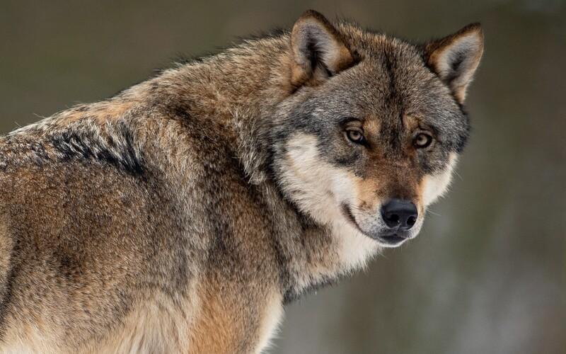 Na Slovensku môžu poľovníci loviť vlkov aj v tejto sezóne. Kvótu  stanovili na 50 jedincov.