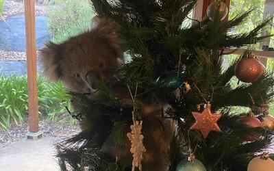 Austrálčanku doma prekvapila neobvyklá návšteva: Na jej vianočnom stromčeku visela koala