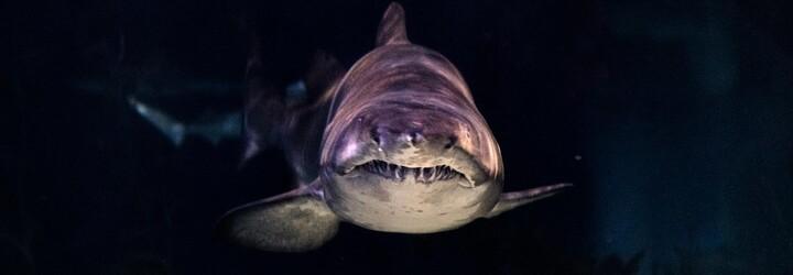 V Itálii vylovili uhynulou prasečí rybu. Jedná se o zvláštní druh žraloka