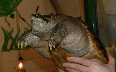 Agresívne korytnačky obsadili nemecké jazero. Útočia na psy, človeku dokážu odhryznúť prst