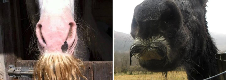 Aj koňom môžu narásť fúzy. Prekvapujúce chlpaté zistenie ti rozhodne rozveselí deň