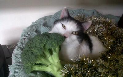 Ak majitelia nútia mačky jesť čisto vegánsku stravu, môžu skončiť vo väzení. Britský zákon bojuje proti týraniu zvierat