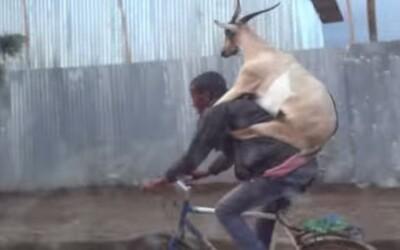Ako previezť kozu na bicykli?