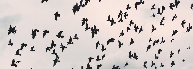 Ako z hororu. Záhreb terorizujú agresívne vrany, útočia na ľudí aj zvieratá