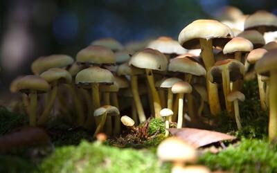 Američan si do žíly píchl vývar z halucinogenních hub: V krvi mu začaly houby růst