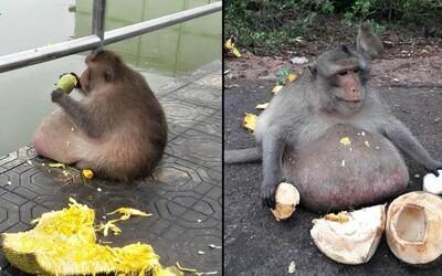 Ani opice si nevedia držať líniu. Obéznej thajskej opici museli naordinovať diétu, pretože váži dvakrát viac, ako by mala