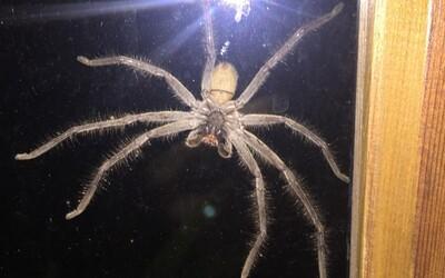 Australanovi se u okna zjevil obrovský pavouk, který při nárazu do skla vystrašil i kočku. Pojmenoval ho a přenechal mu zahradu