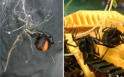 Austrálčan s vtipným komentárom čistí svoju záhradu od smrteľných pavúkov. Ich vyhubovanie ti možno prinesie aj mentálne uspokojenie