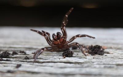 Austrálii hrozí invaze smrtelně nebezpečných pavouků. Jejich jed může člověka zabít do 15 minut