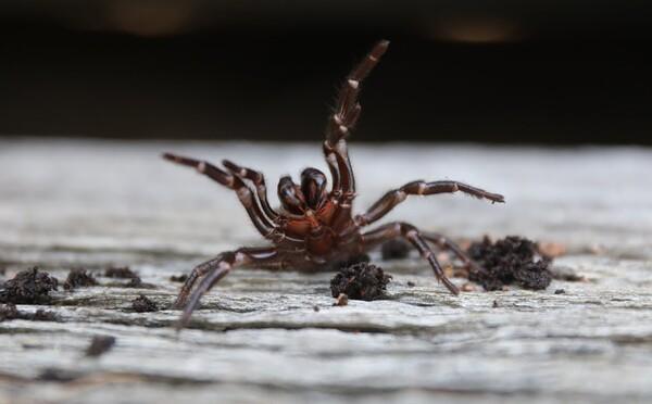 Austrálii hrozí invázia smrteľne nebezpečných pavúkov. Ich jed môže človeka zabiť do 15 minút