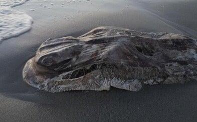 Australské pobřeží vyplavilo dalšího bizarního tvora. Mrtvý tmavý živočich rozpoutal na internetu diskusi o tom, co je vlastně zač