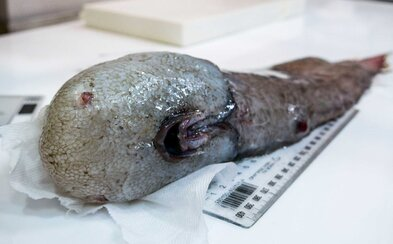 Austrálski vedci našli v hlbinách oceána bizarnú rybu bez tváre. Nezvyčajný živočích sa ukrýval v hĺbke viac než 4000 metrov pod hladinou