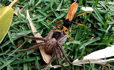 Austrálsky boj na život a na smrť. Obrovský pavúk kapituloval pred nebezpečnou osou, ale príbuzný kráľa vtákov mal so živočíchmi rozdielne plány