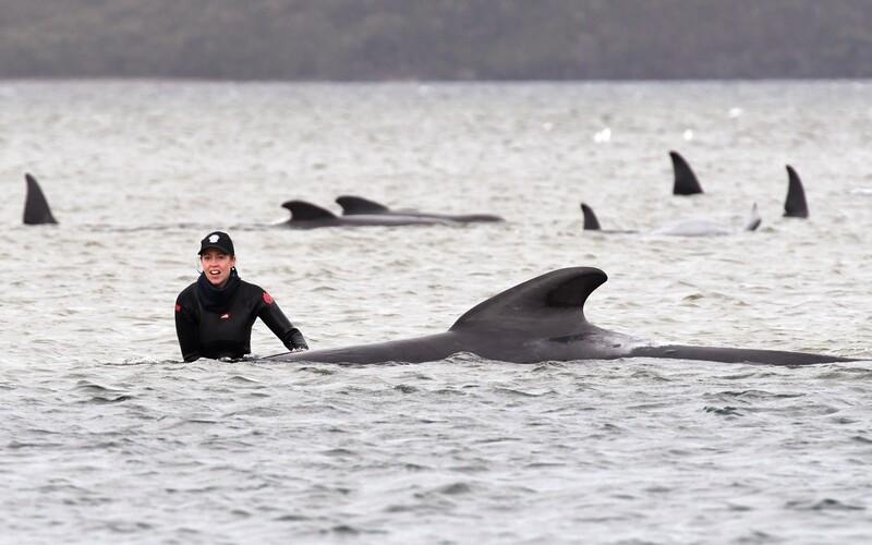 U pobřeží Austrálie uvízlo téměř 500 velryb. Více než polovina z nich už zahynula. Podle záchranářů se buď vydaly nesprávným směrem, nebo pronásledovaly svou kořist až do mělčin.