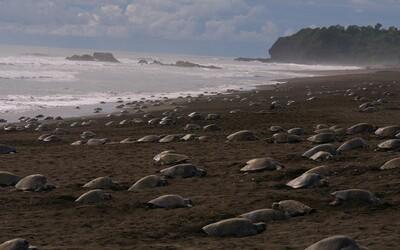 Brazilskou pláž ovládly stovky želv. Unikátní přírodní úkaz nastal díky koronaviru.