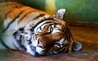 Bengálskeho tigra rozdrvili v Indii bagrom. Personál národného parku ho mal predtým mučiť a dal mu aj smrtiacu dávku