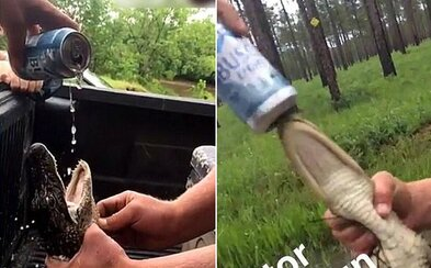 Bezcitní kluci nalili do mláděte aligátora pivo, aby se mohli smát jeho utrpení. Nechutná zábava je už dostala do problémů
