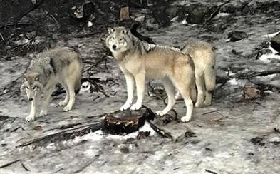 Blízko slovenských hraníc naháňali autom vlkov. Páchateľom hrozia 2 roky väzenia