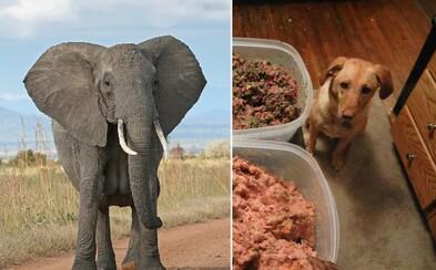 Botswana chce slony zabíjať a predávať aj ako potravu pre psy. Tamojší ľud ich má už plné zuby
