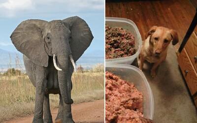 Botswana chce zabíjet slony a prodávat je i jako potravu pro psy. Místní jich mají plné zuby