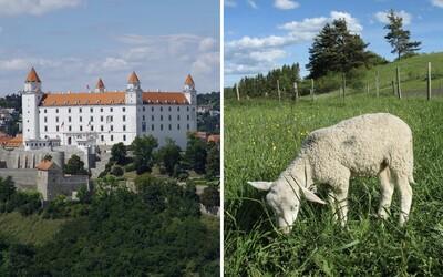 Bratislava vyženie za mesto ovce. Živé kosačky požerú trávu v chránenom území